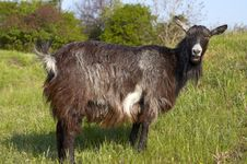 Free Funny Goat Grasing At Lawn Stock Image - 14236581