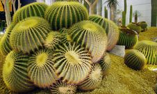 Free Big Golden Barrel Cactus. Stock Image - 14236671