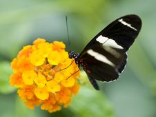 Free Postman Butterfly (Heliconius Melpomene) Stock Photo - 14236770