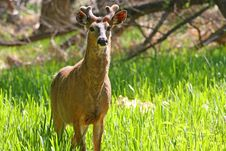 Free White-tailed Deer Buck Royalty Free Stock Photography - 14238067