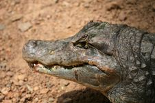 Free Crocodile Royalty Free Stock Photos - 14238168