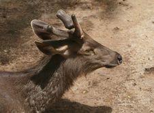 Free Deer Royalty Free Stock Images - 14238189