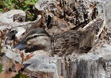 Free Duck Sitting On A Nest. Royalty Free Stock Image - 14238826