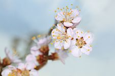 Free Spring Cherry Blossom Stock Photography - 14239492