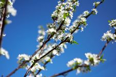 Free Branch Of Plum Blossoms Royalty Free Stock Images - 14239689