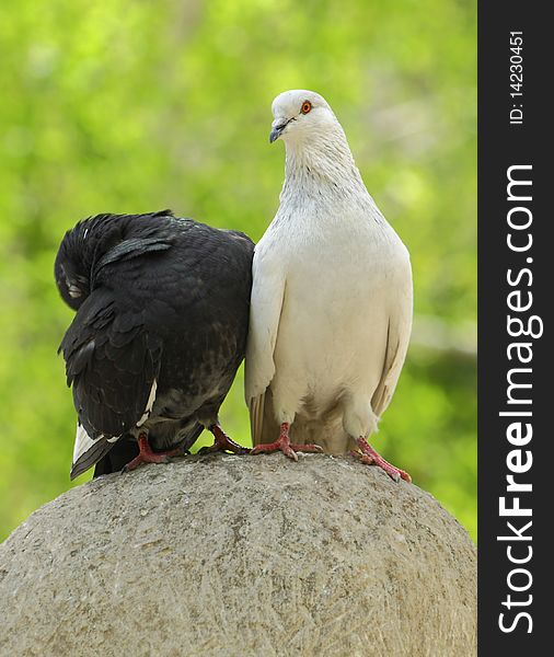 Two wild pigeons sitting on a stone