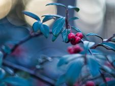 Free Cotoneaster Stock Image - 142358851