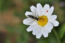 Free Syrphidae Stock Photography - 142358852