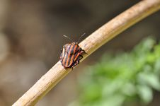 Free Graphosoma Lineatum - Chinche Rayada Stock Photography - 142358862