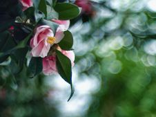 Free Camellia Royalty Free Stock Photography - 142358867