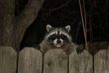 Free Raccoon Stock Image - 142358971