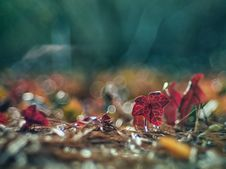 Free Red Leaf Royalty Free Stock Photography - 142358997