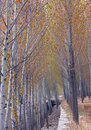 Free Poplar In Spring Royalty Free Stock Photography - 14245677