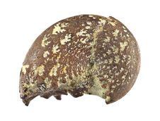 Ammonite Fossil Stock Image