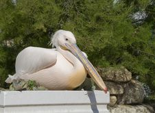 Pelican Sitting On A Flower Bed Near The Bush Stock Photo