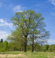Free Oaks On The Spring Sunny Meadow Royalty Free Stock Photos - 14242368