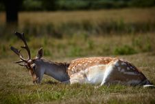 Free Sika Deer Relaxing On A Sun Royalty Free Stock Images - 14242889