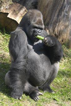 Free Big Gorilla Eating A Cucumber Stock Photo - 14243060