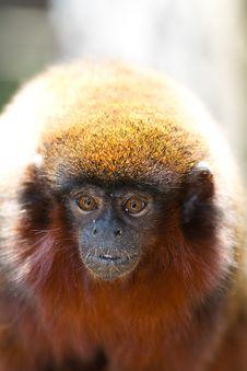 Tamarin Monkey Royalty Free Stock Images