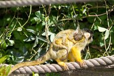 Free Squirrel Monkey Royalty Free Stock Images - 14243419
