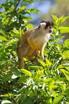 Free Squirrel Monkey Royalty Free Stock Photo - 14243425
