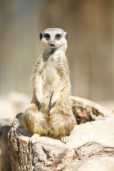 Free Meercat On Duty Royalty Free Stock Image - 14243426