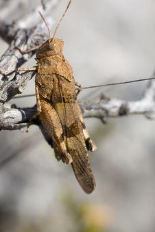Free Brown Grasshopper Stock Photos - 14243783