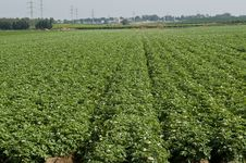 Free Potato-field Royalty Free Stock Images - 14244109