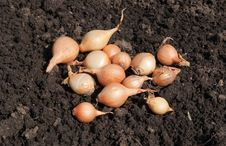 Free Small Onion Stock Photo - 14244130