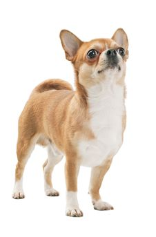 Red With White Chihuahua Dog Royalty Free Stock Photos