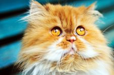 Free Persian Cat Looking Up Royalty Free Stock Image - 14244706