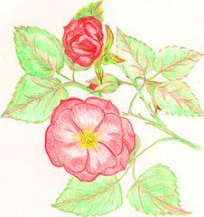 Free Rose Royalty Free Stock Photos - 14245438
