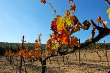 Free Vineyard Leaf In Autumn, Royalty Free Stock Images - 14245529