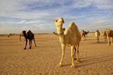 Free Herd Of Camels Royalty Free Stock Image - 14245646