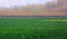 Free Wheat Fields Royalty Free Stock Photo - 14245725