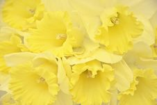 Free Daffodils Royalty Free Stock Photo - 14245815