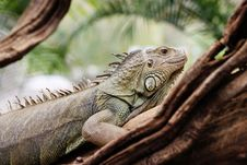 Free Iguana In A Tree Royalty Free Stock Image - 14245876