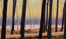 Free Poplar Woods Stock Image - 14246791