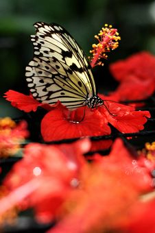 Free Butterfly & Hibiscus Royalty Free Stock Photography - 14247197
