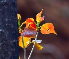 Free New Poplar Leaf Stock Images - 14247554