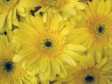 Free Daisy Stock Photography - 14247662