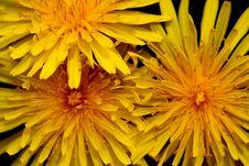 Free Dandelions Stock Images - 14247924