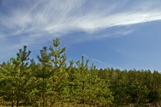 Free Forest With Young Pines Stock Photo - 14248860