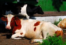 Free Two Cows Stock Image - 14249131