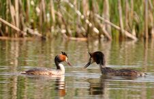 Free Great Crested Grebe Stock Photography - 14249982