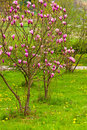 Free Magnolia Tree In Blossom Stock Images - 14251924