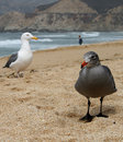 Free Two Seaguls At The Beach Stock Photos - 14254543
