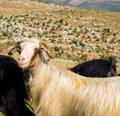 Free Goats Royalty Free Stock Image - 14254556