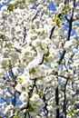 Free Close-up Branch Of Bloom In Spring Royalty Free Stock Images - 14255979