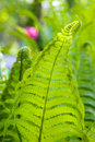 Free Green Fern Leaves Stock Photography - 14256192